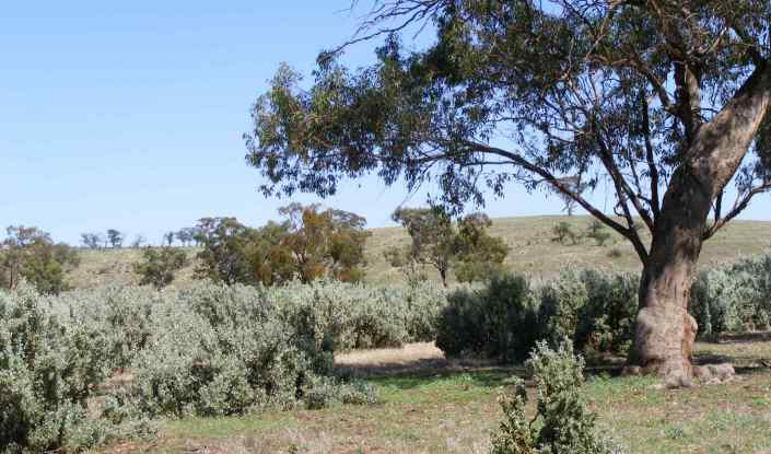 Saltbush on a farm. Photo by Mason Crane.