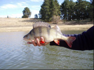 Redfin caught in Googong Dam