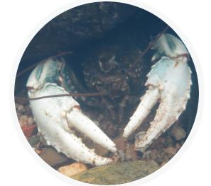 Murray Crayfish at Goobarragandra River. Source: ANU Reporter
