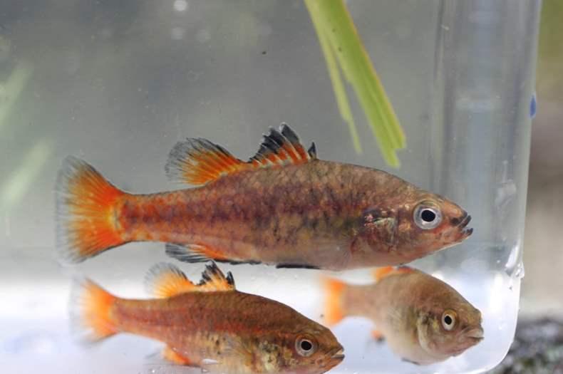 pygmy-perch-3