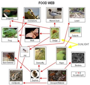 River Food Chain, source: Blue Planet Educational Resources