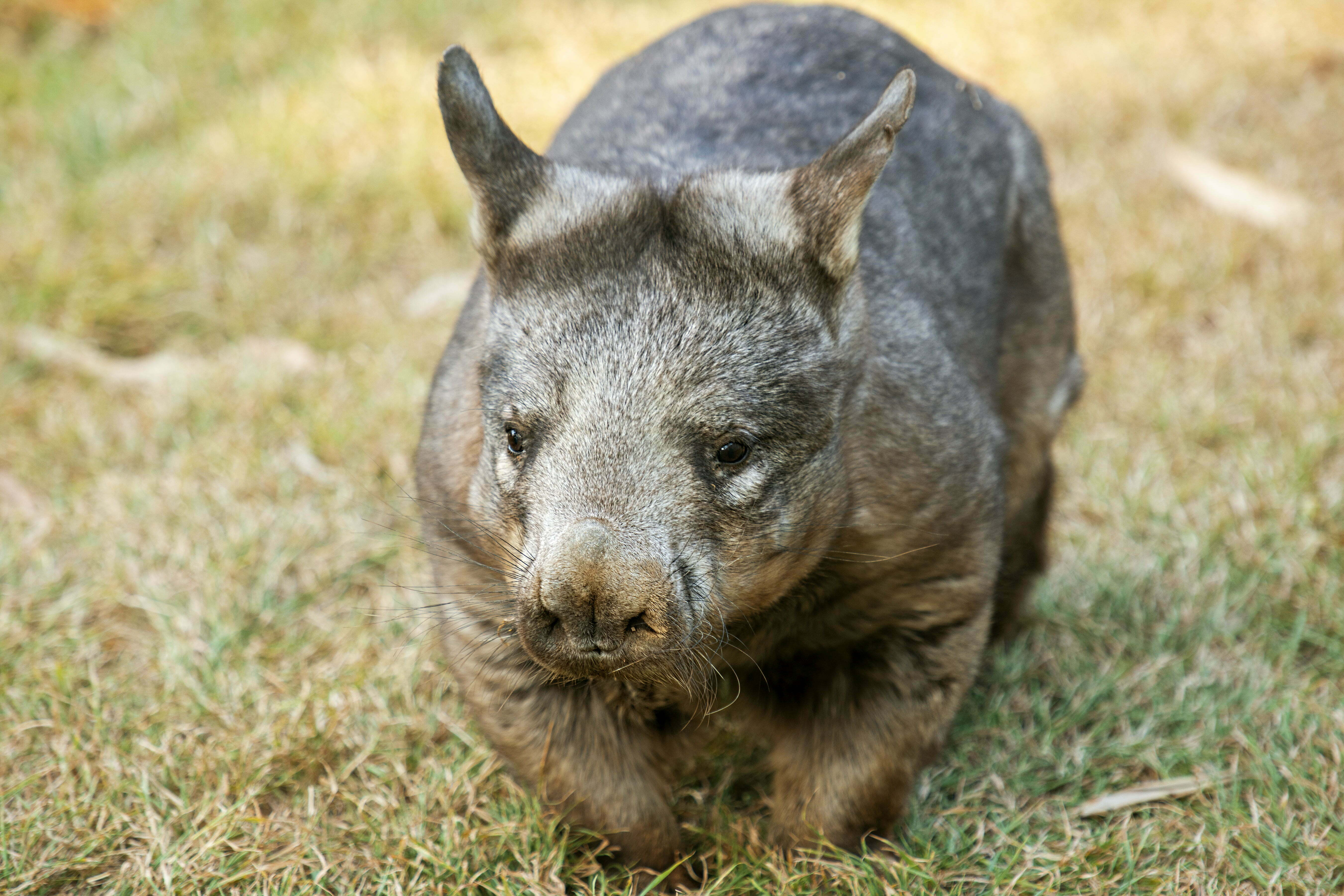 Large Southern Hairy-nosed Australian Wombat