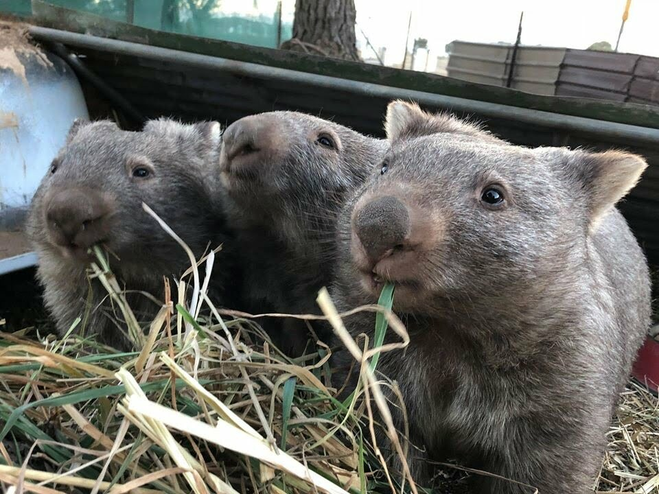 Three wombats eating